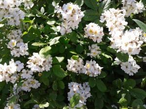 flower white.