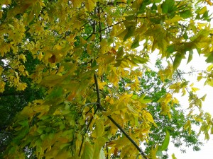 Leaves golden.
