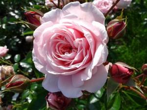 Rose pink color.