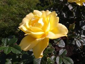 Rose yellow.