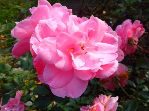 Roses pink beauty.